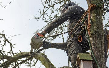 the process of removing dead wood from Brampton Street trees
